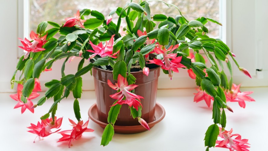 Töménytelen virágot hoz a karácsonyi kaktuszom, amióta ennek a gyümölcsnek a levével öntözöm. Sosem volt még ennyire gyönyörű