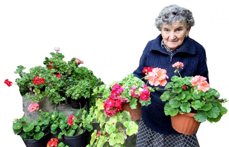Itt a bevált módszer, Így kell átteleltetni a muskátlit, hogy jövőre dús virágzata legyen egy idős kertész árulta el a titkot