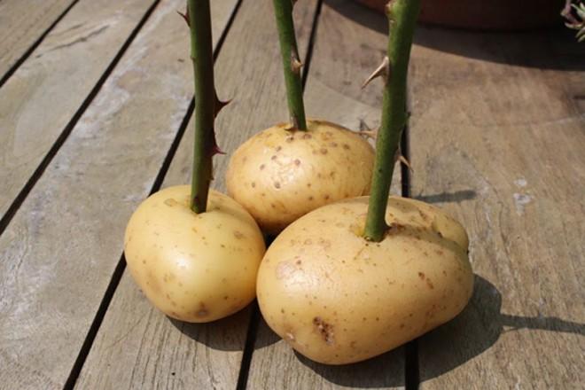 Átszúrta a krumplit egy rózsaszárral – ami néhány hét múlva történik igazi meglepetés