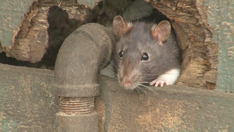 Tuti módszer: így szabadulhatsz meg tartósan az egerektől, természetes módszerekkel!