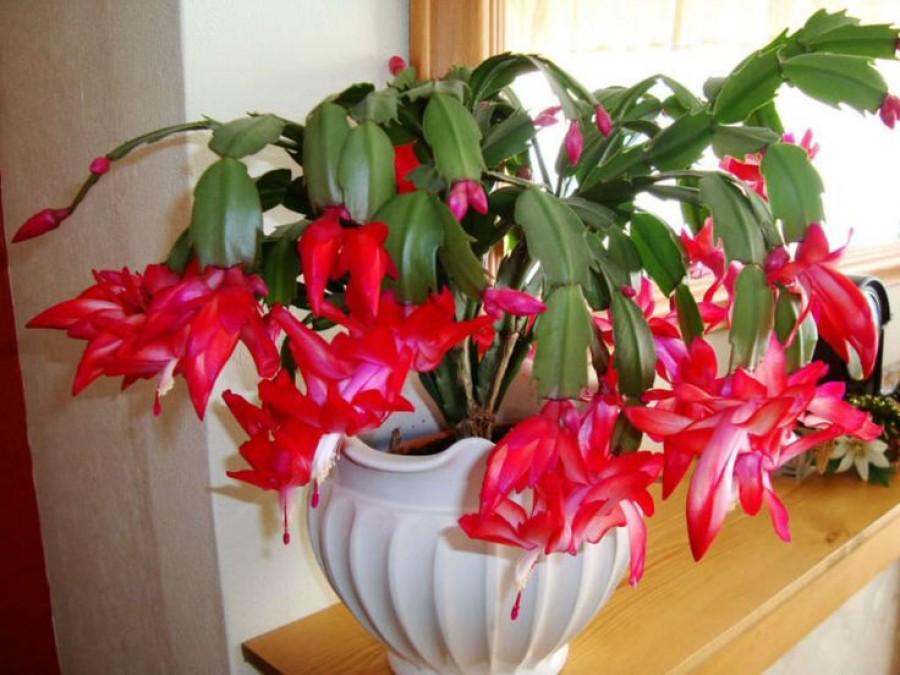 Így lesz csodaszép az ünnepekre a karácsonyi kaktuszod. Már most kezd el a gondozását