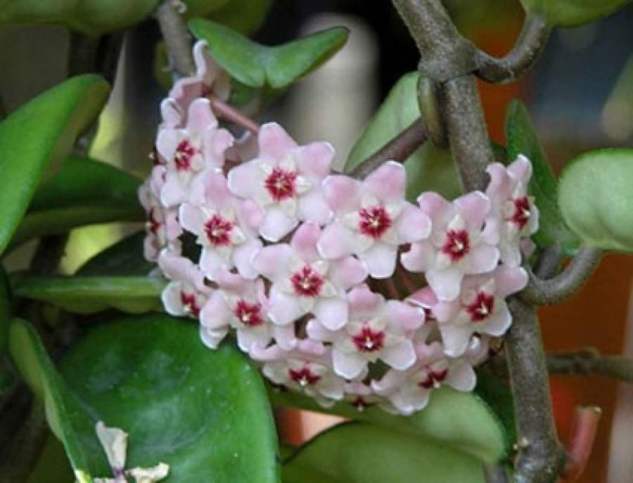 Nagymamám tudta a titkát: nála mindig gyönyörű volt a viaszvirág. Elmondta, mit tegyek