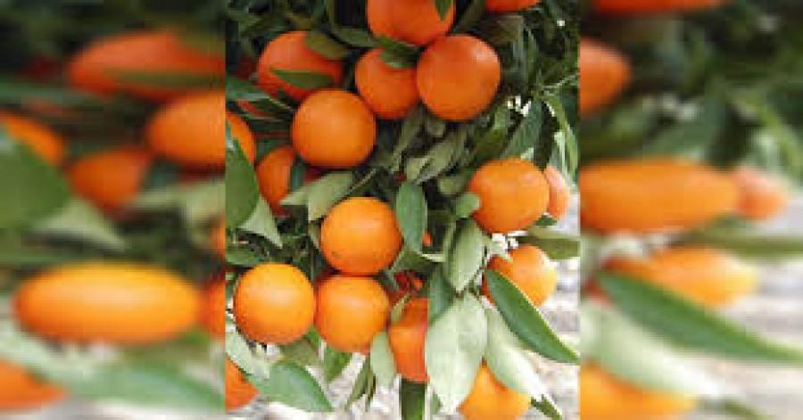 Soha nem fogsz ezentúl mandarint venni! Ültesd el egy virágcserépbe és több százat fogsz majd szüretelni