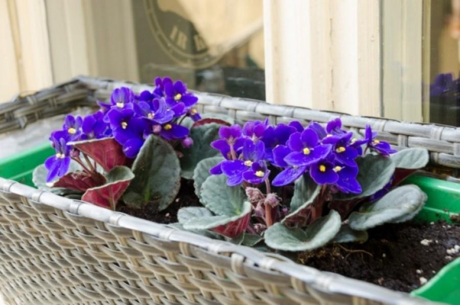 A nyugdíjas apám bevallotta: ezt kell tenni az ibolyákkal és rögtön virágba borulnak a tövek!