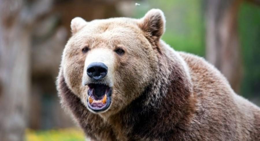 Visszatértek hazánkba a medvék! Ezt tedd, ha találkozol eggyel