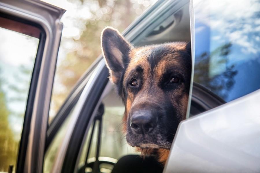 Egyedül hagyták a rendőrkutyát a kocsiban - 2,5 óra múlva az állat meghalt